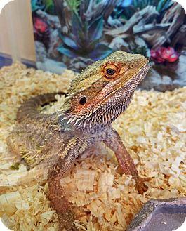Lizard for adoption in Lompoc, California - Autumn