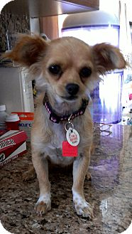 Chihuahua Mix Dog for adoption in Thousand Oaks, California - Tina