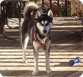 Siberian Husky Mix Dog for adoption in Windham, New Hampshire - Miki