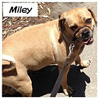 Adopt A Pet :: miley - Goleta, CA