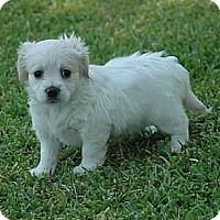 Adopt A Pet :: Cindy - La Habra Heights, CA