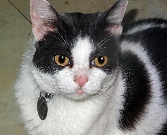 Domestic Shorthair Cat for adoption in Palm City, Florida - Fred