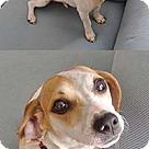 Adopt A Pet :: Amy