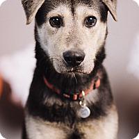 Adopt A Pet :: Hank O'malley - Portland, OR