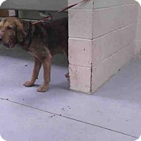 Adopt A Pet :: SOPHIE - Conroe, TX