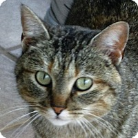 Domestic Shorthair Cat for adoption in Montgomery City, Missouri - Mitzi