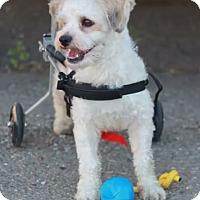Adopt A Pet :: Abe - El Dorado Hills, CA