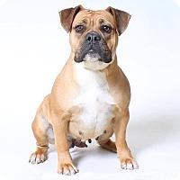 Boxer/Bulldog Mix Dog for adoption in Hesperia, California - Paisley
