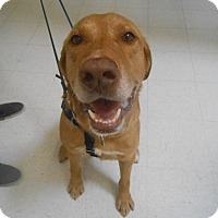 Golden Retriever/Labrador Retriever Mix Dog for adoption in Lockhart, Texas - Cooper