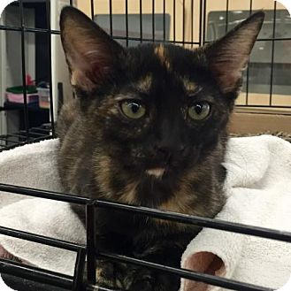 Domestic Shorthair Kitten for adoption in Phillipsburg, New Jersey - Lacey