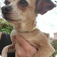 Adopt A Pet :: Samantha - Las Vegas, NV