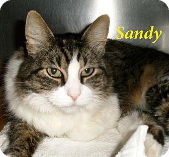 Domestic Mediumhair Cat for adoption in El Cajon, California - Sandy