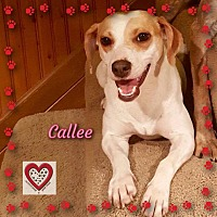 Beagle/Jack Russell Terrier Mix Dog for adoption in Elgin, Illinois - Callee