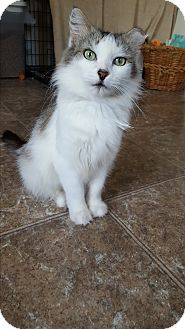 Domestic Longhair Cat for adoption in San Antonio, Texas - Charlotte