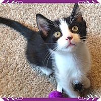 Adopt A Pet :: Obsidian - Mt. Prospect, IL