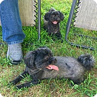 Shih Tzu/Poodle (Miniature) Mix Dog for adoption in Knoxville, Tennessee - Ginger & Holly