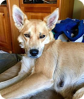 Shiba Inu Mix Dog for adoption in Smithtown, New York - Emma