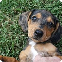 Adopt A Pet :: Jax - Lodi, CA