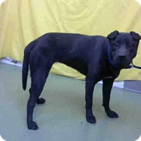 Shar Pei Mix Dog for adoption in Mira Loma, California - Serena