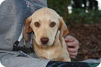 Labrador Retriever/Beagle Mix Puppy for adoption in Seneca, South Carolina - Ivory $250