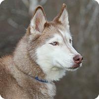 Adopt A Pet :: Red (Spayed) - Marietta, OH