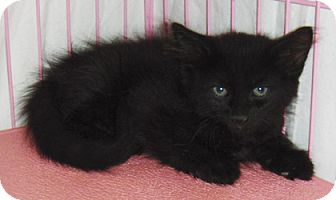 Domestic Longhair Kitten for adoption in Phoenix, Arizona - Cinder