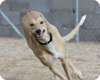 Greyhound Dog for adoption in Tucson, Arizona - Tess
