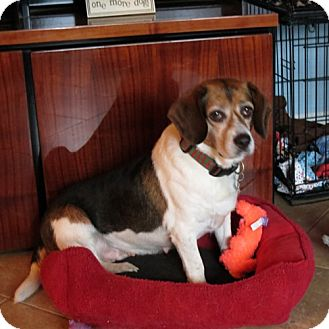 Beagle Dog for adoption in Pittsburgh, Pennsylvania - CeCe