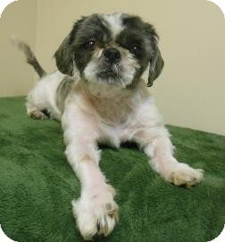 Lhasa Apso Mix Dog for adoption in Gary, Indiana - Lady
