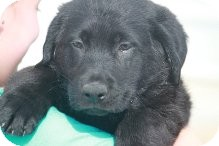 Labrador Retriever Mix Puppy for adoption in Russellville, Kentucky - Chester