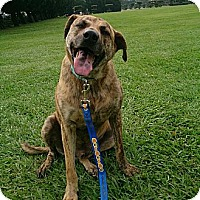 Basenji Mix Dog for adoption in san jose, California - Kong
