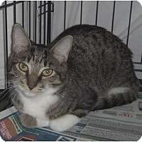 Adopt A Pet :: Tabby - Orlando, FL