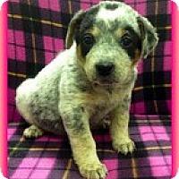 Adopt A Pet :: Stormy - Brattleboro, VT