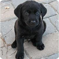 Adopt A Pet :: Decoy - Loomis, CA