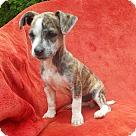 Adopt A Pet :: CHRIS