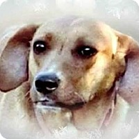 Mountain Cur Dog for adoption in Upper Sandusky, Ohio - Hazel