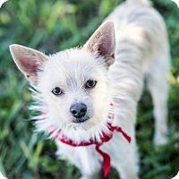 Adopt A Pet :: Little White Fang - Miami, FL