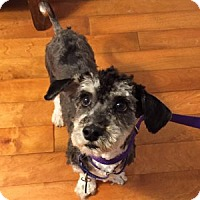 Adopt A Pet :: Gibson - Redondo Beach, CA