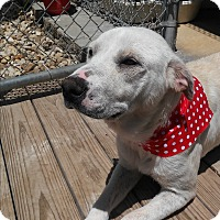 Adopt A Pet :: Lady Bird - san antonio, TX