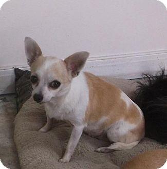 Chihuahua Dog for adoption in Bonifay, Florida - Penny