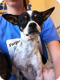 Chihuahua Mix Dog for adoption in Las Vegas, Nevada - Woody