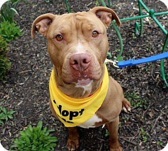 American Staffordshire Terrier Mix Dog for adoption in Wilmington, Delaware - Tommy