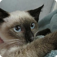 Adopt A Pet :: Chocolate Point Siamese Kitten Sora - Brooklyn, NY