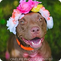 Pit Bull Terrier Mix Dog for adoption in Lake Jackson, Texas - Ruby