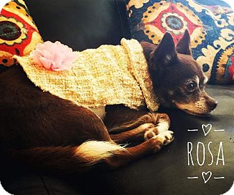 Chihuahua Dog for adoption in Indianapolis, Indiana - Rosa