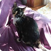 Calico Kitten for adoption in Middletown, New York - Rosie