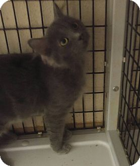 Domestic Shorthair Cat for adoption in Muscatine, Iowa - Lisa