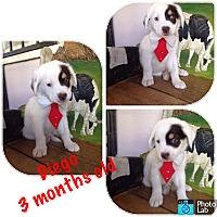 Adopt A Pet :: Dingo - LAKEWOOD, CA