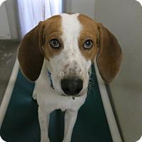 Adopt A Pet :: Bueller - Geneseo, IL