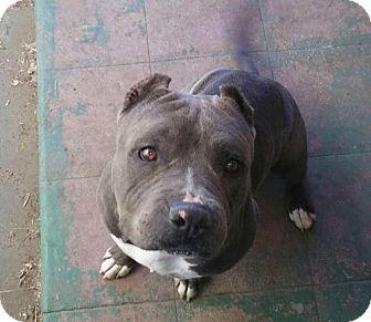 Pit Bull Terrier Dog for adoption in Crestline, California - Tyson